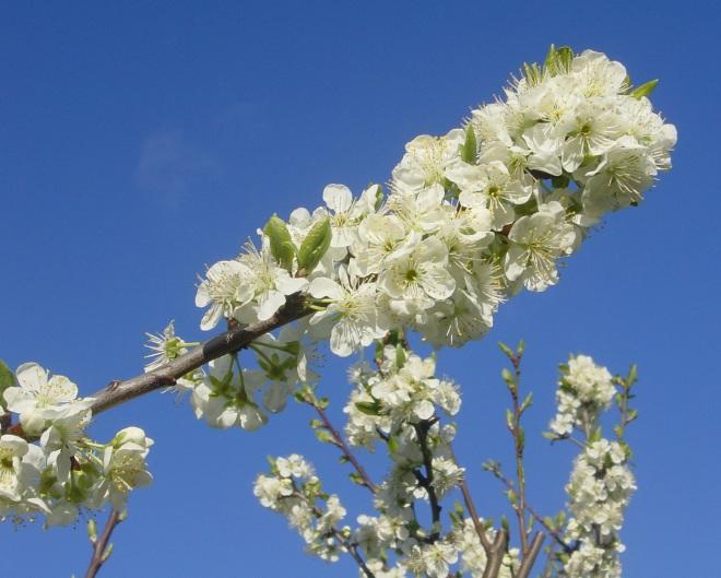 Plommetre blomst
