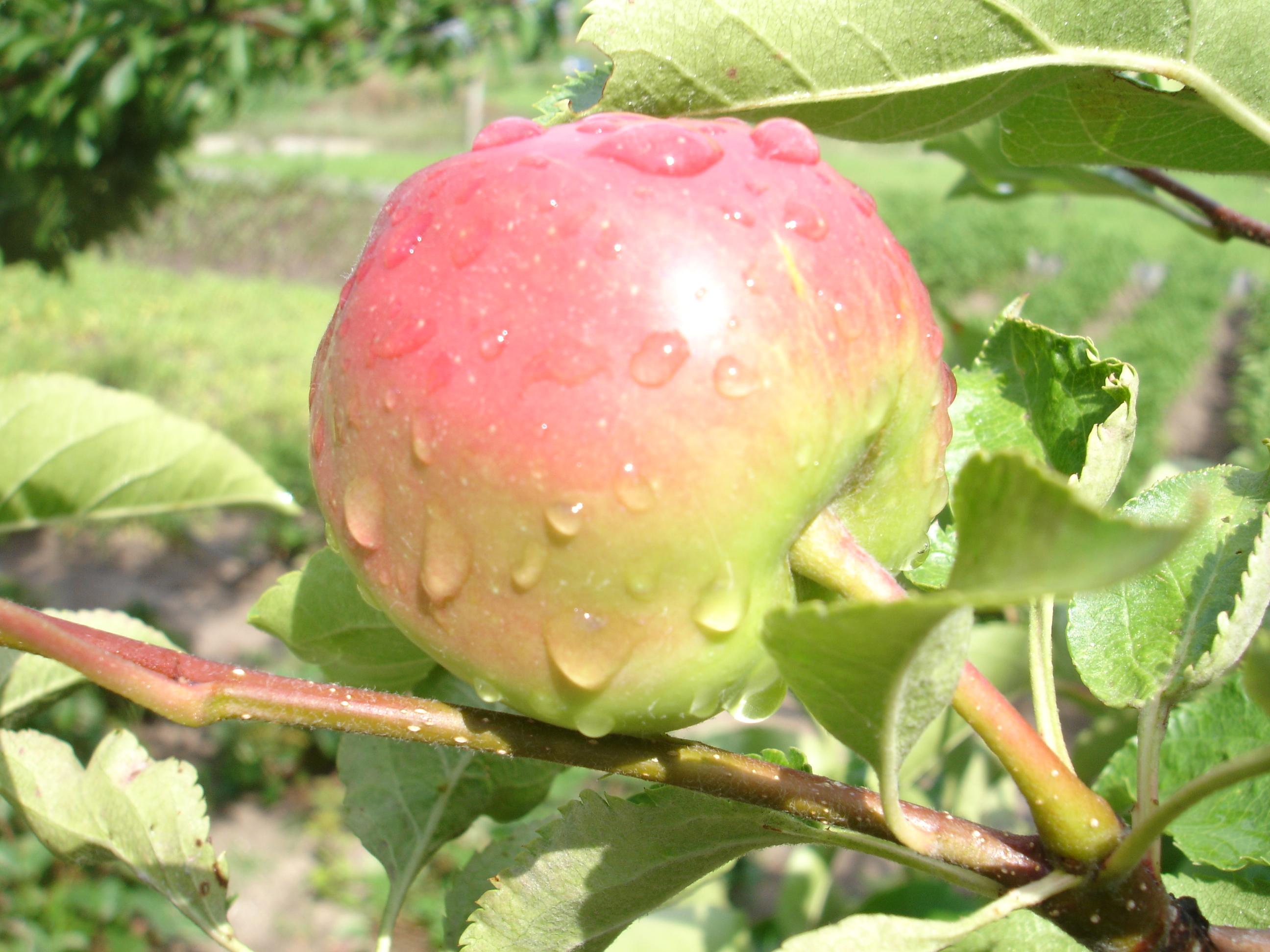 Radioaktivt eple nær Tsjernobyl.