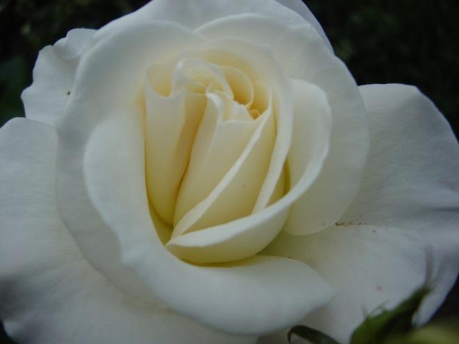 Rose hvit