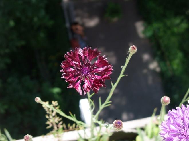 Blomst, lilla, fokus