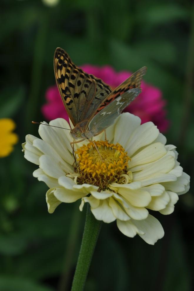 Sommerfugl på Krim
