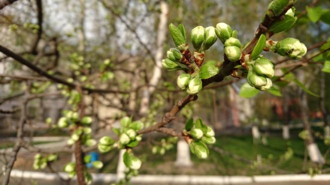 Kastanje, buds, knopper, vår, vårsprang, Kiev, каштан, vårsprett, knopp, blomst, grein, nærbilde, våren