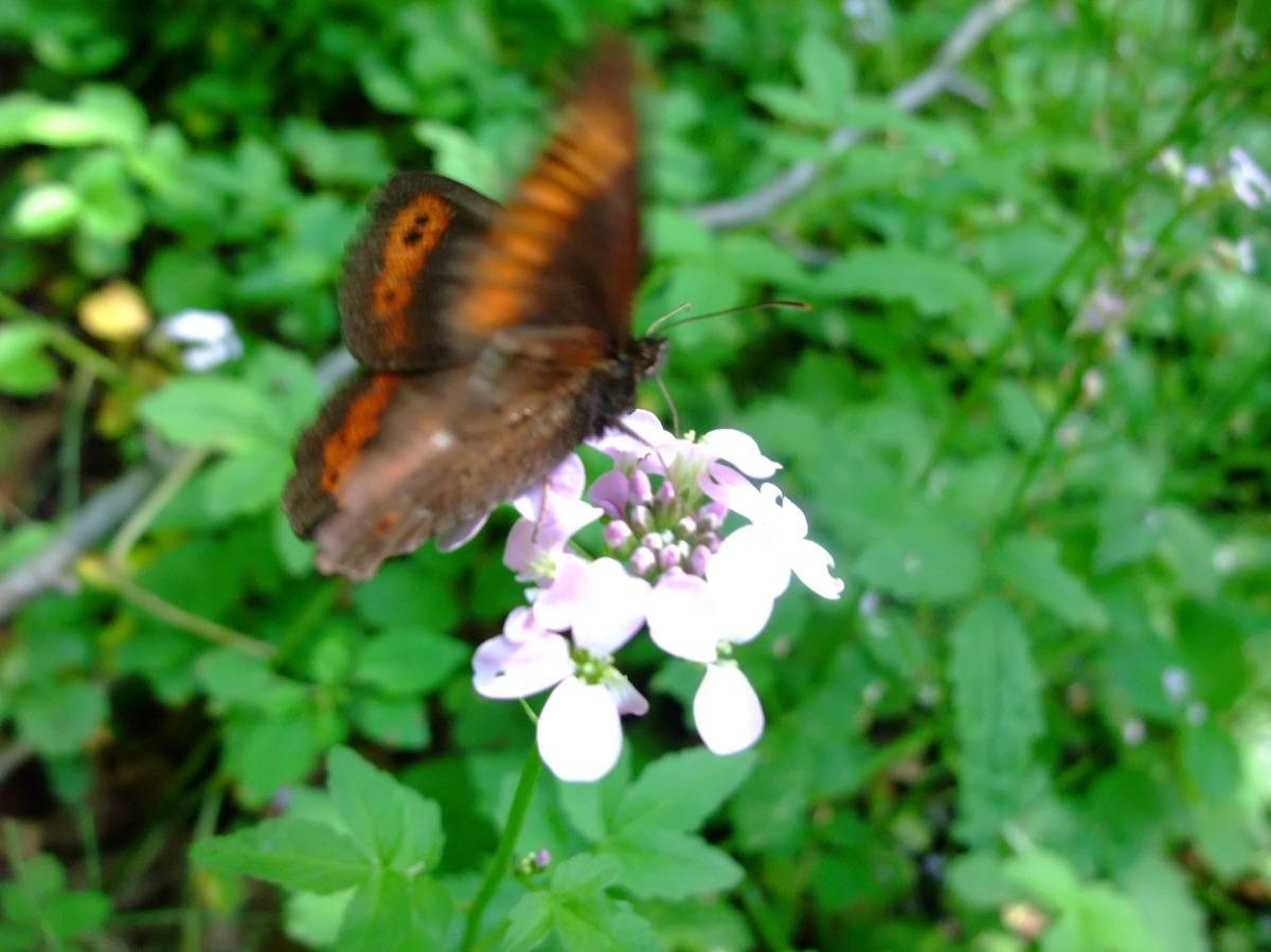 Sommerfugl, blomst