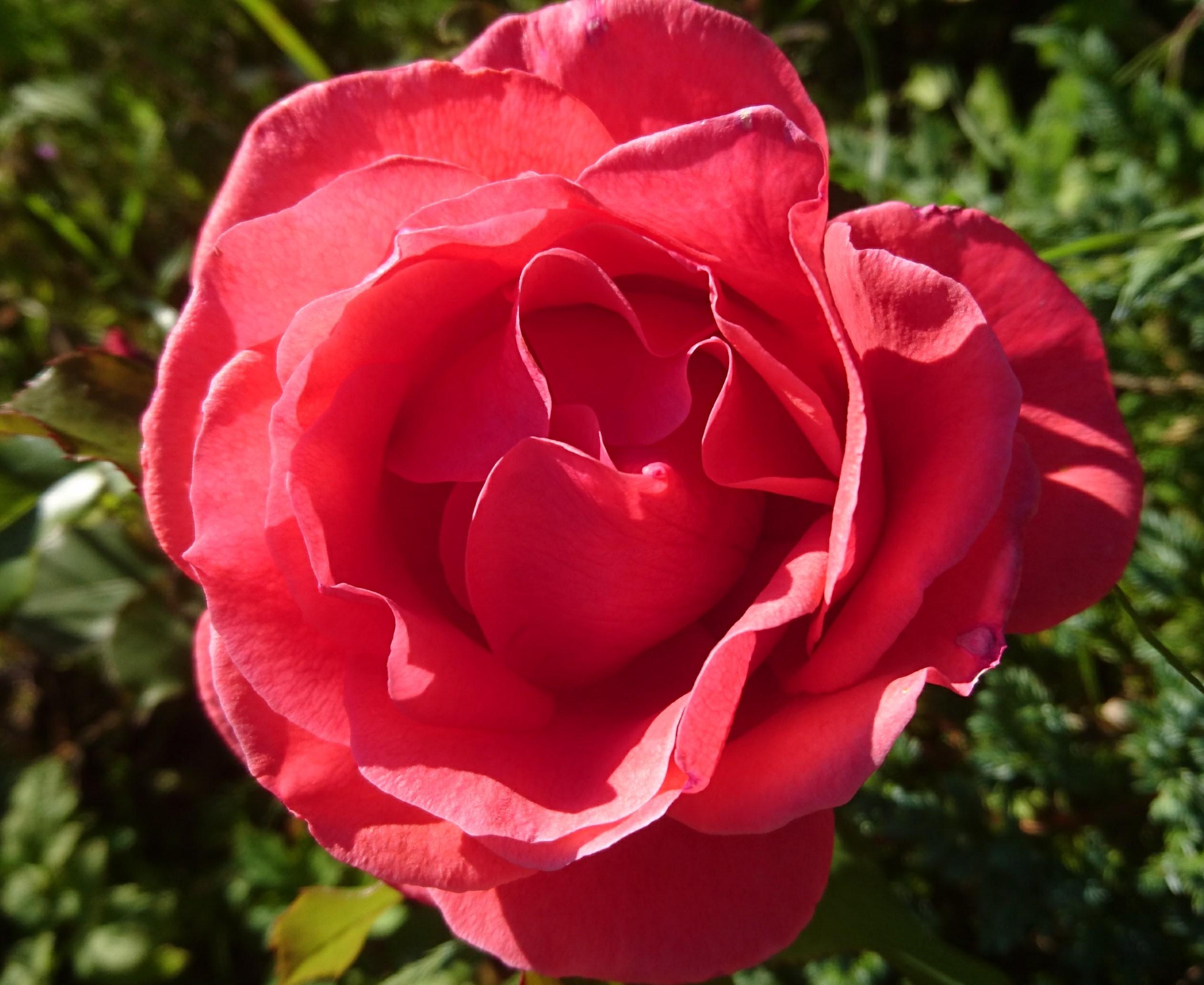 Bilde av en rose. Illustrasjon til diktet Heidenröslein, av Johann W. von Goethe.