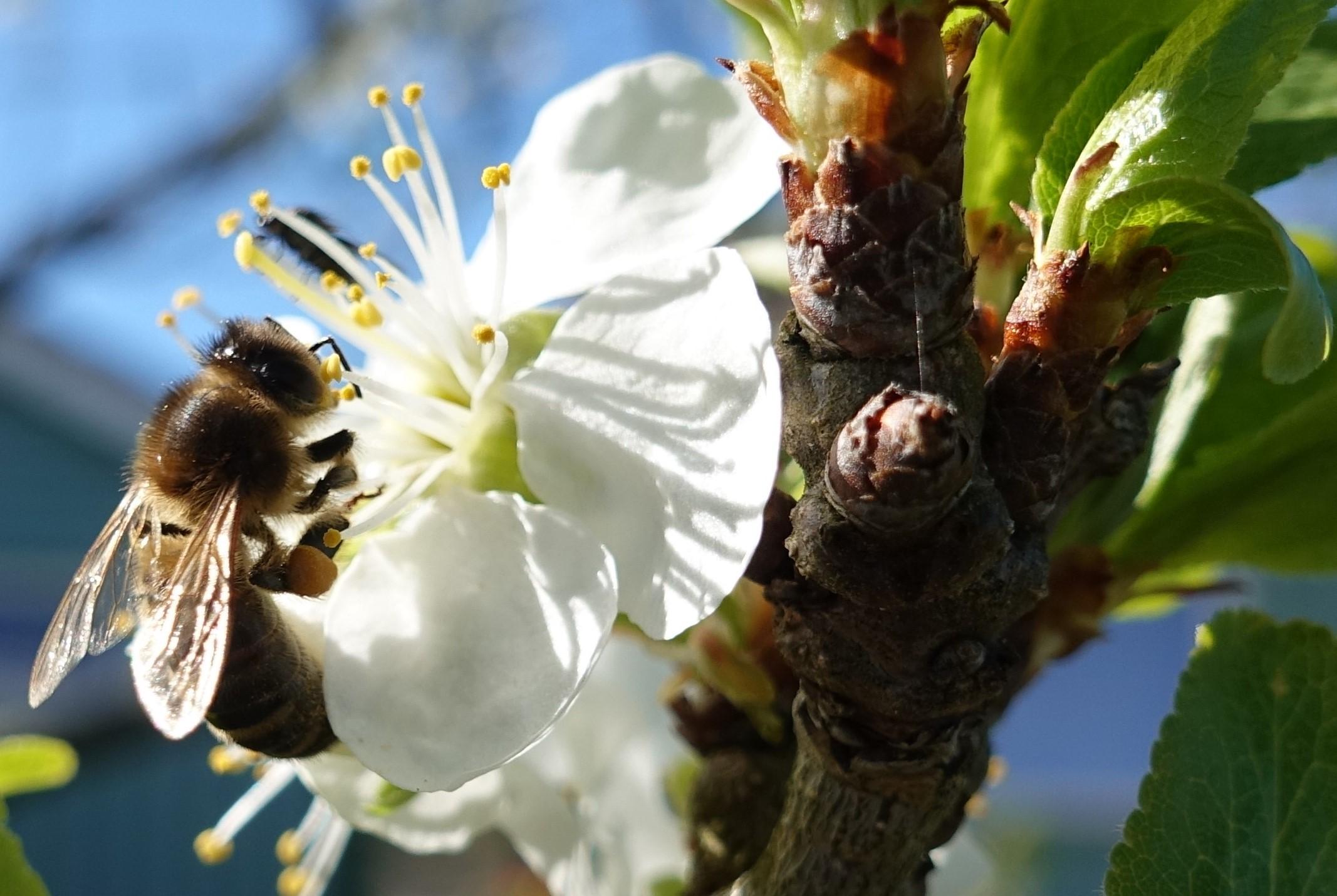 Bie, blomst, epletre